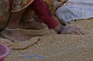 एमएसपी से कम कीमत पर फसल बेचने को क्यों मजबूर हैं मध्यप्रदेश के किसान
