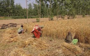 उत्तराखंड में गेहूं खरीद, 1051 किसान ही करा पाएं ऑनलाइन रजिस्ट्रेशन