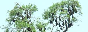 Residents of this Odisha village are conserving bats despite COVID-19 stigma