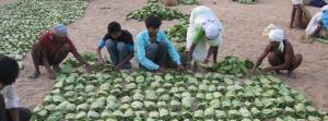 COVID-19 lockdown deals blow to Rajasthan's tendu leaf economy
