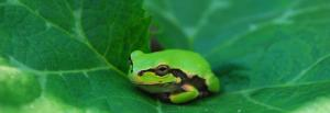 Global Eco Watch: Tree frogs create auditory illusion to find mate without being eaten
