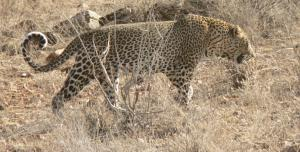 Exploitation changes leopard behaviour with long-term genetic costs