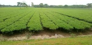 COVID-19: Global financial crisis could cripple Indian tea industry