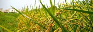 Global Eco Watch: A cooling event caused rice to spread across Asia 4,200 years ago