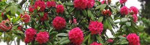COVID-19 lockdown impacts rhododendron flower collection in Uttarakhand