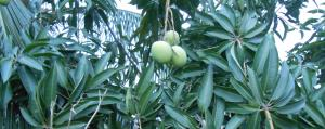 COVID-19 and Cyclone Amphan: Malda's Mango growers bear the brunt
