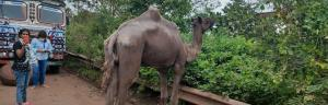 World camel day: As tourists stay away from Odisha beaches, owners abandon camels