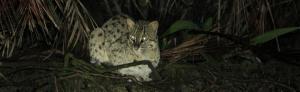 Odisha starts project to conserve Bhitarkanika fishing cats