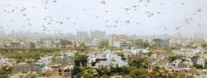 Locusts invade Delhi-NCR
