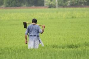 धान की सीधी बुआई कर रहे किसान इन बातों का रखें ध्यान