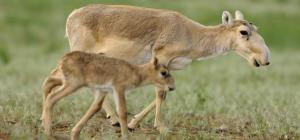 Global Eco Watch: Kazakhstan's smallest saiga population records mass calving