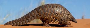 Pangolin scale seizures jumped 10 times between 2014 and 2018: UN report