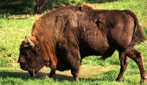 Global Eco Watch: European Bison to be introduced into Kentish woodland