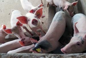 'African swine fever may have come to Arunachal Pradesh, Assam from Tibet'