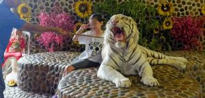 The multiple dangers of privately owning tigers and other big cats