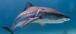 Sharks are thriving at the Kermadec Islands, but not the rest of New Zealand, amid global decline