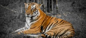 'Molecular data and fossils are the gold standard for research on the tiger's origins'