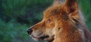 As dingoes grow in size, should we blame pesticides?