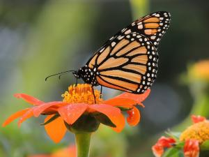 Decline in monarch butterfly population not because of migration: Study