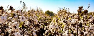 How power shaped the 'success story' of genetically modified cotton in Burkina Faso
