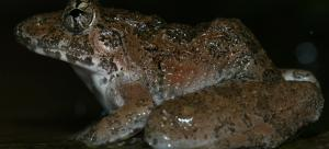 Kalinga frog in Western Ghats shows physical differences from Eastern Ghats counterpart