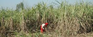 Unpaid dues to cane farmers over Rs 15,000 crore: Govt