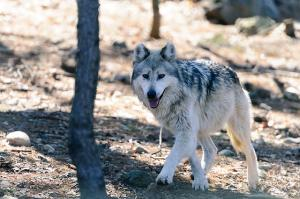 Trump Administration ends federal protection for the gray wolf