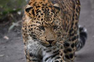 Number of leopards rises on China's Loess Plateau