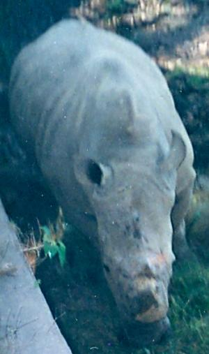 Mohan, a solitary white rhino photographed by the author in 1995
