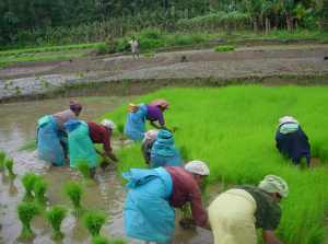 Why climate change studies on rice production are important in Wayanad