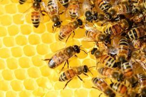 मधुमक्खी क्यों ? मधु क्यों?