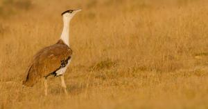 Bustard conservation: No agreement on underground power lines, ban on new projects