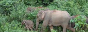 NGT direction to notify Odisha elephant corridors welcome, but more needs to be done