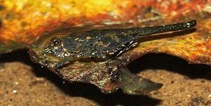 The 'Euscelimena harpago', an Indian grasshopper commonly called 'Pygmy Grasshopper'. Photo: Dhaneesh Bhaskar