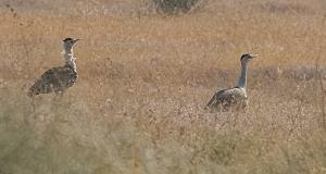 NGT wants underground power lines, bird diverters at Great Indian Bustard habitat