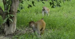 Two monkeys in a field in Muzaffarnagar district, Uttar Pradesh. Photo: Vikas Choudhary / CSE