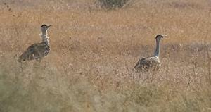 Two Great Indian Bustards. Photo: Wikimedia Commons