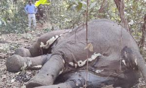 Elephant carcass with missing tusks found in Odisha's Mayurbhanj