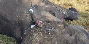 Two held after tusker dies due to burn injuries near Mudumalai Tiger Reserve