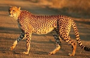 Four sites selected for reintroduction of cheetah in India. Photo: Wikimedia Commons