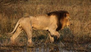 An African lion in the Okavango delta in Botswana, southern Africa. Photo: Wikimedia Commons