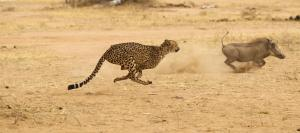 Kuno not ready ecologically at the moment to accept cheetahs: Faiyaz Khudsar