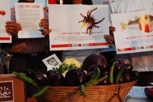हरियाणा के खेत में पैदा किया जा रहा गैरकानूनी बीटी बैंगन