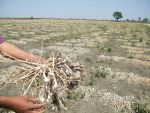 COVID-19 lockdown halts crop damage assessment in Haryana