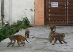 Rhesus macaque declared vermin in Himachal Pradesh