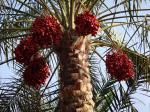 How date palm seeds can remove toxins from the environment