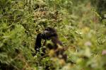 Poaching taking a toll on gorilla, zebra population: IUCN