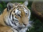 Tiger death rate in India highest since 2010