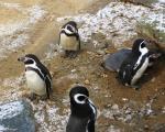 Penguin fight: understanding animal contest behaviour in five easy steps