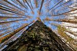 Globally, over 15 per cent of all tree species face extinction threat
